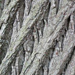 Sweet Chestnut tree bark in Pontypool Park