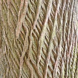 Bark pattern and texture in Pontypool Park