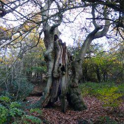 Dead tree in Pontypool Park, South Wales