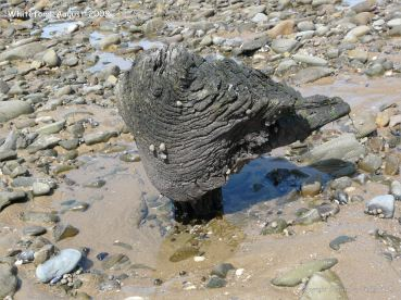 Odd shaped piece of ancient wood protruding from a sand and stone covered beach at Whiteford on the Gower Peninsula