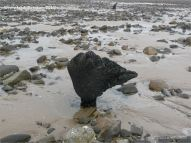 Odd shaped piece of ancient wood protruding from a partially sand covered beach at Whiteford on the Gower Peninsula