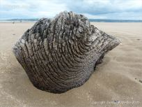 Odd shaped piece of ancient wood protruding from a sand covered beach at Whiteford on the Gower Peninsula