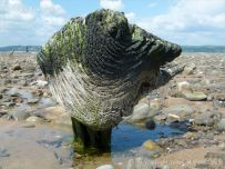 Odd shaped piece of ancient wood protruding from a stone covered beach at Whiteford on the Gower Peninsula