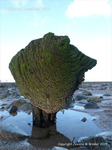 Odd shaped piece of ancient wood covered with green algae and protruding from a stone covered beach at Whiteford on the Gower Peninsula