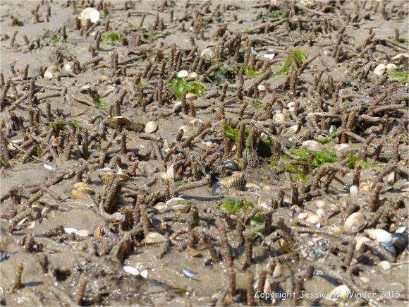 Sandgrain tubes of marine worms and sea shells