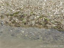 Cross-section through layer of sand tubes made by marine worms on the edge of a beach stream