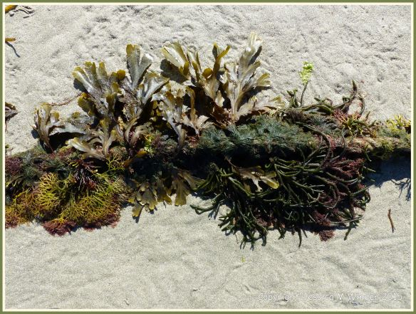 Seaweeds growing on a mooring rope at low tide