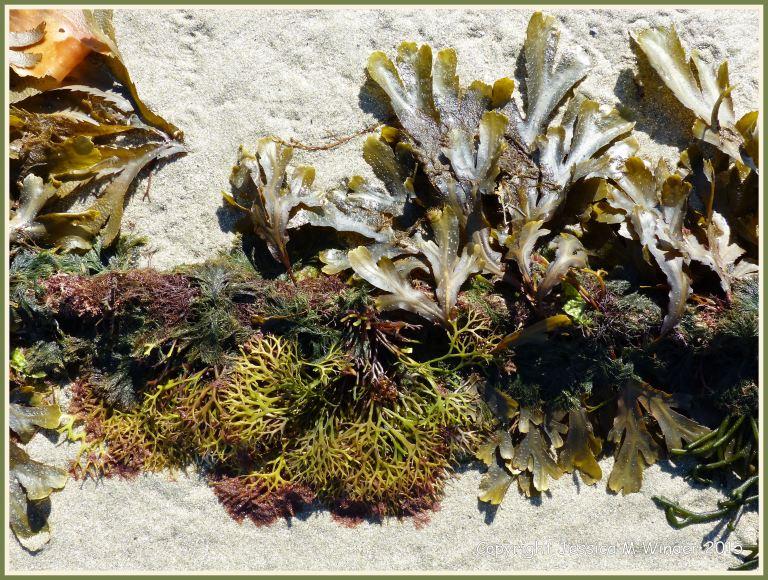 Seaweeds growing on a mooring rope at low tide