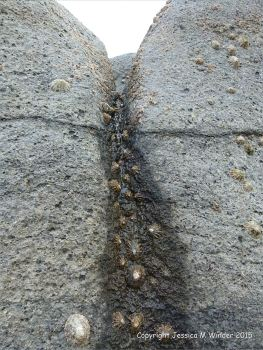 Limpets on Carboniferous limestone furrow created by acid erosion.