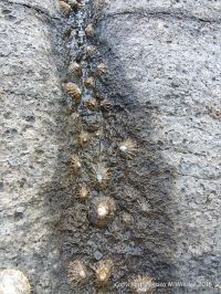 Limpets clustering on a wet patch on Carboniferous limestone furrow created by acid erosion.