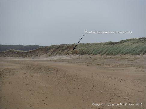 Junction of low uneroded dunes with the eroded higher dunes at Whiteford sands