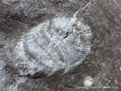 Coral fossil in Gully Oolite limestone on the west side of Worm's head