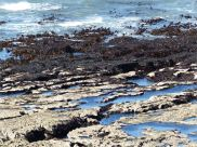 Kelp beds exposed at low water