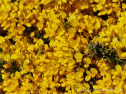 Bright yellow gorse flowers