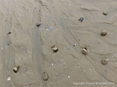Live Rayed Trough Shells emerging from shallow sandy burrows