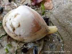 Living Rayed Trough Shell with protruding siphons stranded on the surface of a sandy beach