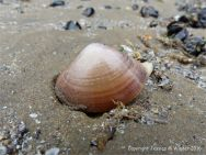 Live Rayed Trough Shell emerging from shallow sandy burrows
