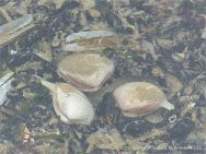 Living Rayed Trough Shells in a tide pool