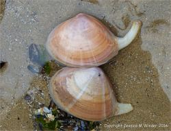 Two stranded Rayed Trough Shells in a tide pool