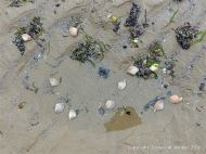 Live Rayed Trough Shells in a beach pool at low tide