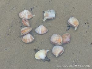 Live Rayed Trough Shells in a shallow pool at low tide
