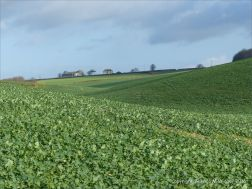 English countryside view of fields with new growth of oil seed rape