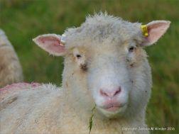 English sheep with pink lips