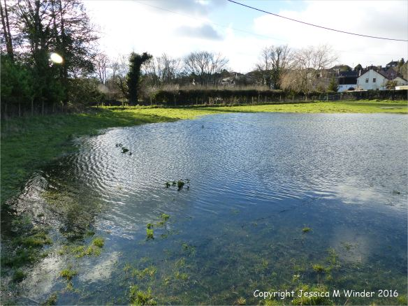 Large shallow lake of flood water in sheep pasture near Charminster