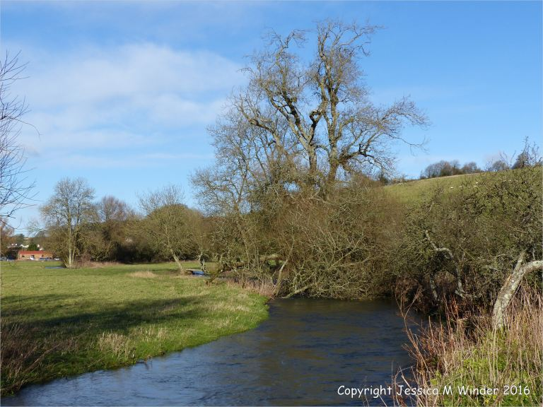 A small tree leans precariously over the swollen River Cerne