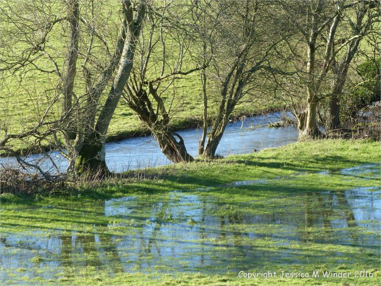 Bankside trees reflected in flood waters in sheep pasture