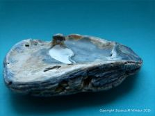 Oyster shell with attached pearl