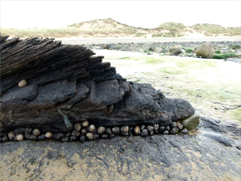 Large groups of common winkles clustered around submerged forest wood on the beach