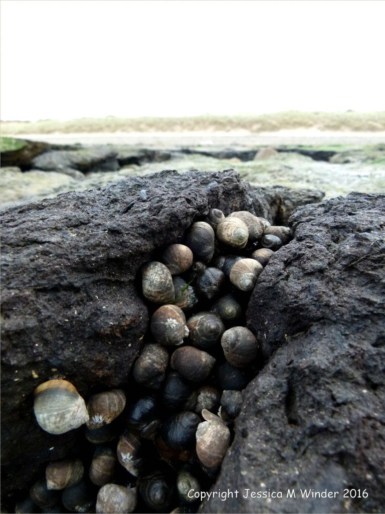 Large groups of common winkles clustered in exposed ancient peat beds on the beach