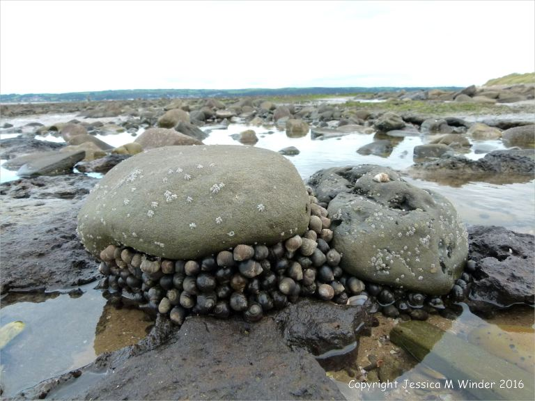 Large groups of common winkles clustered around the base of large stones on the beach