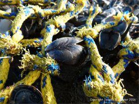 Flotsam fishing net and mussel shells