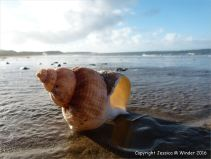 Sun shining through a common whelk shell on the beach