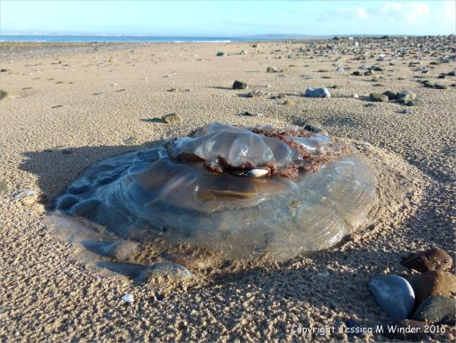 Barrel jellyfish washed up on a sandy beach