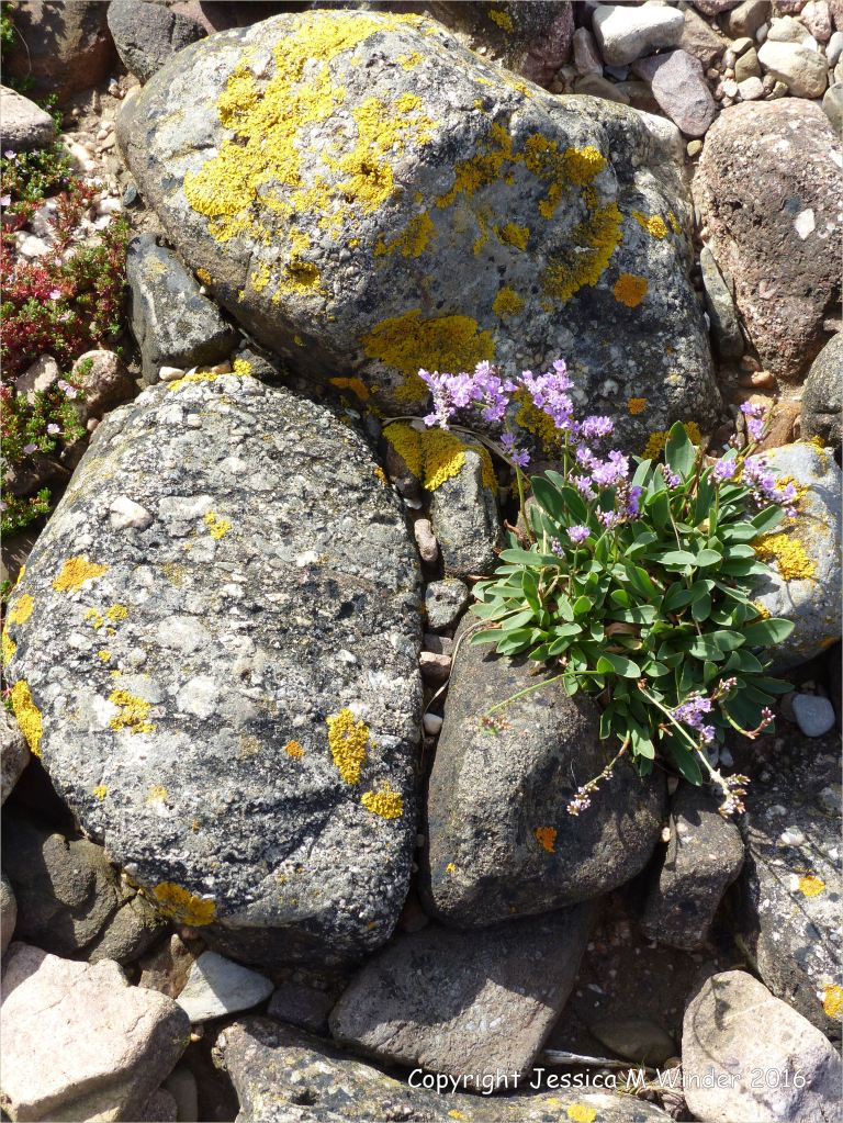 Sea Lavender on lichen covered stones of the river bank at Three Cliffs Bay