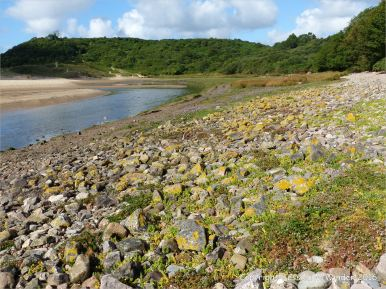 Lichens and flowering plants colonising The Pennard Pill stony riverbank at Threecliff Bay