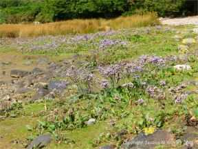 Lichens and flowering plants including Sea Lavender colonising The Pennard Pill stony riverbank at Threecliff Bay