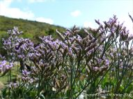 Sea Lavender on the stony west bank of Pennard Pill at Three Cliffs Bay in Gower.