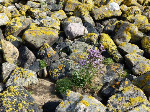 Sea Lavender growing among lichen covered stones on the west bank of Pennard Pill at Threecliff Bay, Gower.