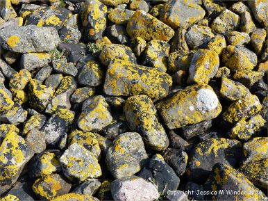 Black and yellow lichens on the stony west bank of Pennard Pill at Three Cliffs Bay, Gower.