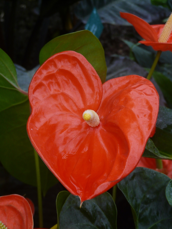 Red heart-shaped flower for Valentine's Day