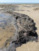 Ancient tree trunk emerging from the eroding peat on the beach at Whiteford