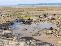 Context shot showing peat beds and tree stumps on the beach at Whiteford Sands