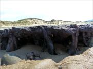 Ancient tree stump from a submerged forest in life position on the beach at Whiteford Sands