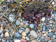 Wet pebbles with seaweed on the beach at Havelet in Guernsey