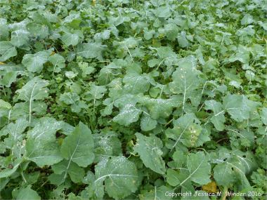 Young oilseed rape plants in December
