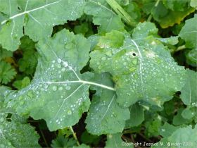 Raindrops on leaves of oilseed rape plants in December